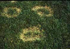 necrotic ring spot on grass