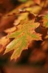 oak leav