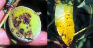 Peach Bacterial Spot Disease