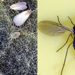 Whiteflies, Fungus gnats