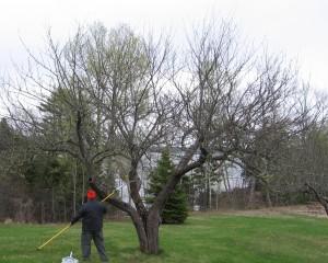 Man pruning apple tree