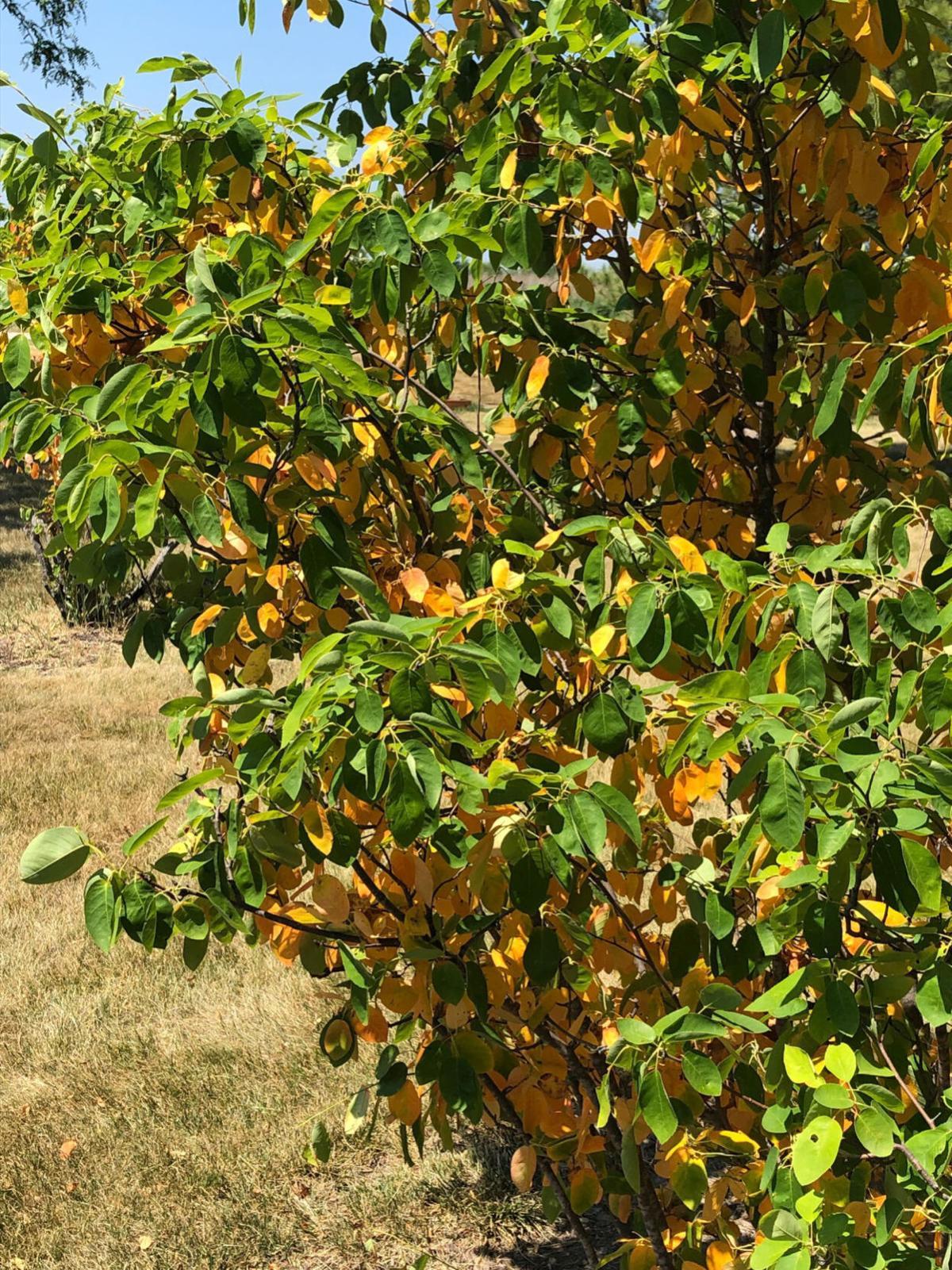 Drought stress on trees at the Kenosha County Center